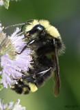 Obscure Bumble Bee Bonbus caliginosus