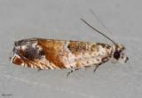 Epinotia castaneana #3288