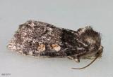 Egira variabilis #10504