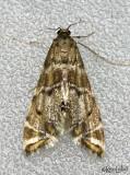Confusing Petrophila Moth Petrophila confusalis #4780