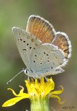 Purplish Copper Lycaena helloides