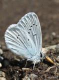 Blue Copper Lycaena heteronea