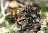 Robber Fly Cyrtopogon auripilosus