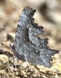 Hoary Comma Polygonia gracilis