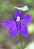 Upland Larkspur Delphinium nuttallianum