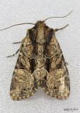 Oblique Brocade Moth Xylomoia indirecta #9401
