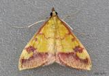 Shasta Pyrausta Moth Pyrausta perrubralis #5064
