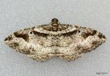 Bent-line Carpet Moth Costaconvexa centrostrigaria #7416