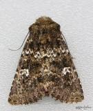 Mossy Pseudobryomima Moth Pseudobryomima muscosa #9599