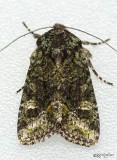moths 8 Darts 9873 - 11233