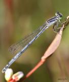 Eastern Forktail Ischnura verticalis female