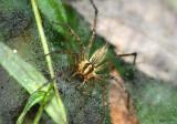 Grass Spider Agelenopsis pennsylvanica