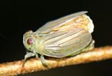 Planthopper Thionia simplex
