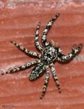 Jumping Spider - Platycryptus undatus