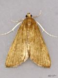 Waterlily Borer Moth Elophila gyralis #4751