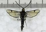 Peachtree Borer Moth Synanthedon exitiosa #2583