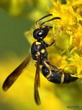 Potter Wasp Parancistrocerus perennis