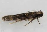 Chionodes thoraceochrella #2119