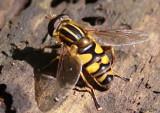 Flower Fly Helophilus fasciatus