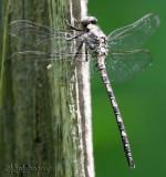 petaluridae : petaltail