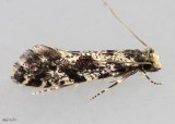 European Grain Moth Nemapogon granella #0266