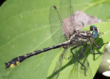 Piedmont Clubtail Hylogomphus parvidens carolinus