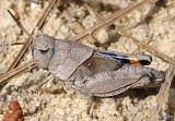 Orange-winged Grasshopper Pardalophora phoenicoptera