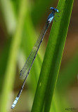 Attenuated Bluet Enallagma daeckii