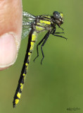 Spine-crowned Clubtail female