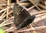 Southern Cloudywing Thorybes bathyllus