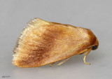 Early Button Slug Moth Tortricidia testacea #4652