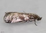 Scale-feeding Snout Moth Laetilia coccidivora #5949