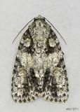 Ovate Dagger Moth Acronicta ovata #9243