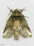 Small Heterocampa Moth Heterocampa subrotata #7985