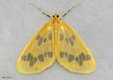 moths 5 Giant Silk 7182 - 8032
