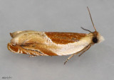 moths 2 Tortricids 2513 - 4617