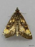 moths 3 Pyralids 4618 - 6075