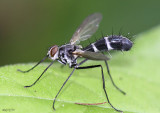 Tachinid Fly Cordyligaster septentrionalis