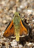 Common Banded Skipper Hesperia colorado