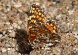 Gabb's Checkerspot Chlosyne gabbii