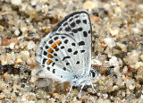 Bernardino Blue Euphilotes bernadino