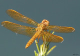 Mexican Amberwing Perithemis intensa