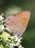 Juniper Hairstreak Callophrys gryneus siva