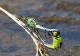 libellulidae : skimmers