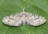 Eupithecia monacheata #7456