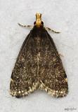 Merrick's Pyralid Moth Loxostegopsis merrickalis #5117