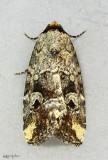 Pale-winged Midget Moth Elaphria alapallida #9681.1