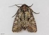 Disparaged Arches Moth Orthodes detracta #10288