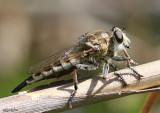 Robber Fly Efferia albibarbis