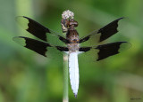 Common Whitetail Plathemis lydia